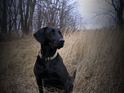 A black Labrador retriever